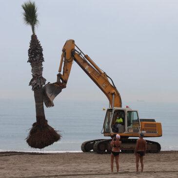 Benicàssim trasplanta las tres palmeras de la playa Heliópolis