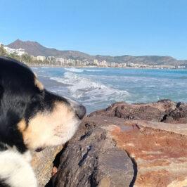 Autorización perros en playas de Benicàssim